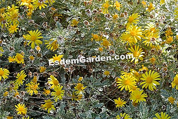Savannah daisy, Euryops pectinaceous, Euryops golden