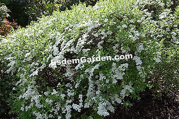 Spirea of ​​Thunberg
