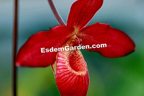 Phragmipedium 'Memoria Dick Clements'
