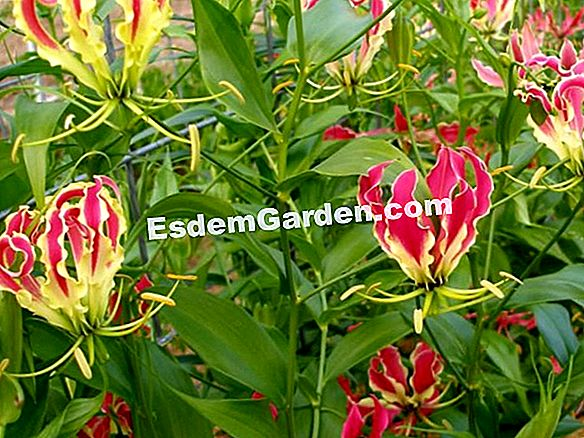 Gloriosa superba rothschildiana