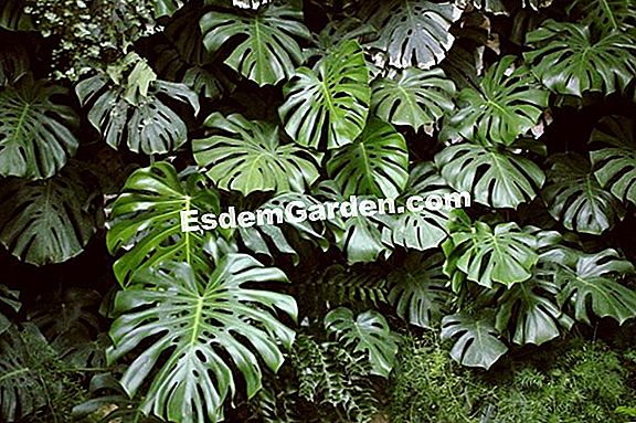 Philodendron (Monstera)