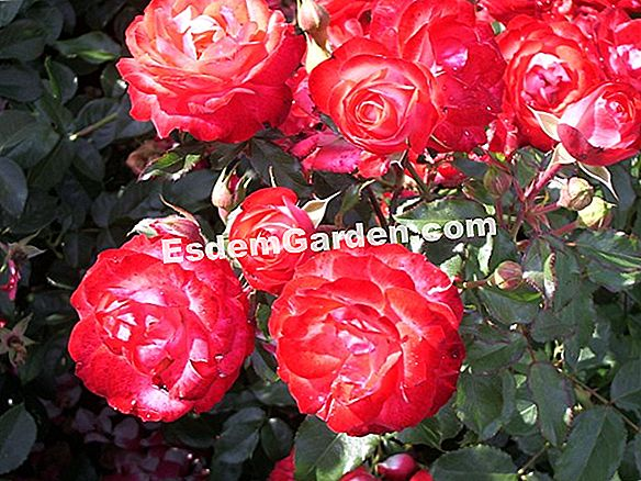 Kordes Roses Without Strain®: easy-going e fioritura!