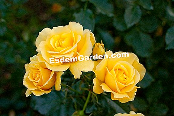 Rose 'Rose of the Sun'