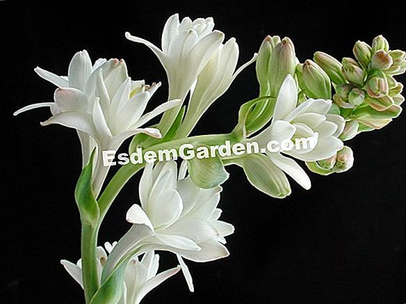 Tuberose, Polianthes tuberosa