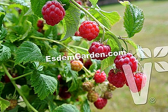Raspberry 'Ruby Beauty' (Rubus idaeus): punte in crescita