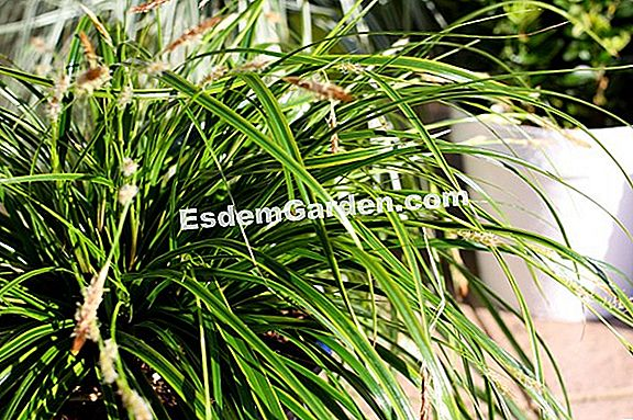 Carex EverColor Serie (Carex oshimensis)