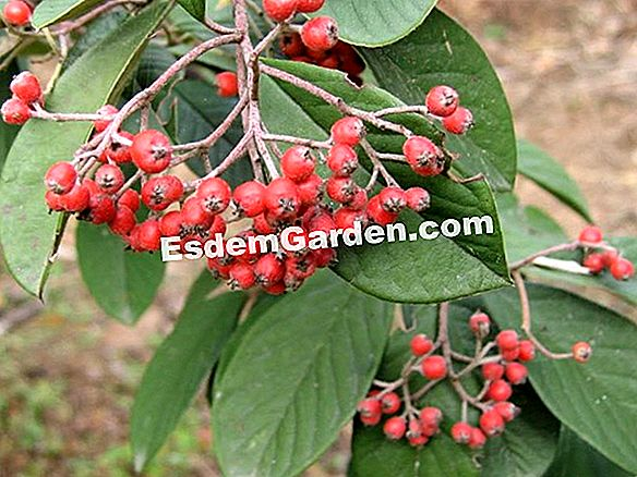 Parneys Cotoneaster, milchiger Cotoneaster