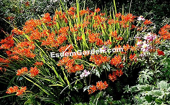 Ixia orange, Lilie der orange Weizen