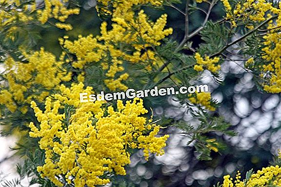 Winter Mimose