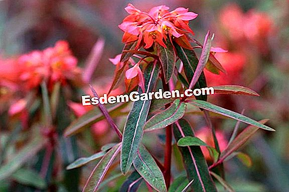 Griffiths Wolfsmilch, Euphorbia griffithii