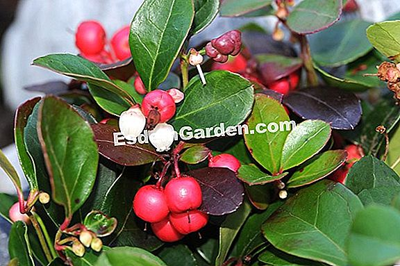Wintergrün, Gaultheria