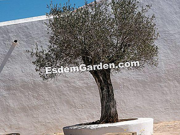 Gemeinsame Pflanzen Sie Einen Olivenbaum Im Topf 🌿 Alles Über Gartenarbeit &RB_66