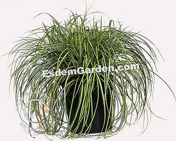 Serie Carex EverColor (Carex oshimensis)