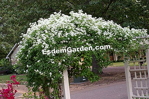 Clematis vine-white, Clematis seto, Grass with pauper