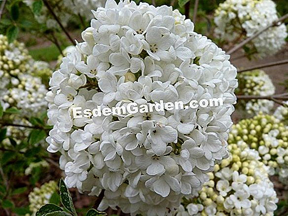Viburnum de Bitchiu