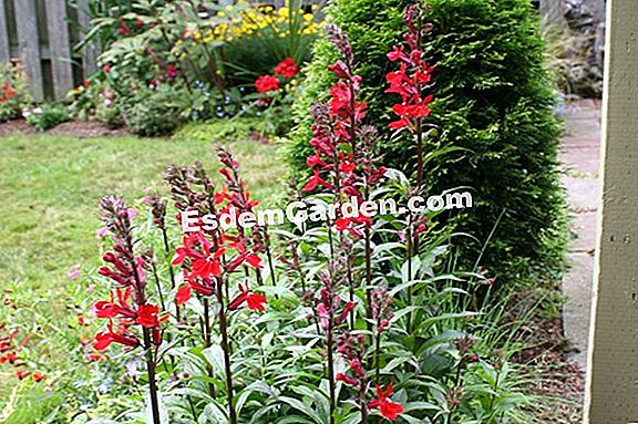 Red Lobelia