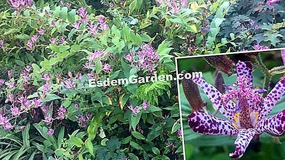 Toad lily of Formosa