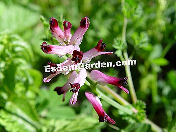 Fumitory común, Ictericia hierba, lombriz de tierra, Grass Widow, Blood Piss