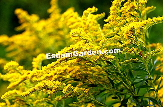 Solidage Canada, Goldenrod of Canada