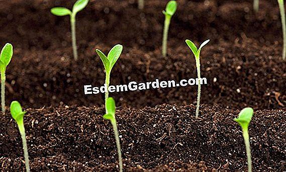 Zanahoria Silvestre – Carota zanahoria salvaje planta silvestre local, ricas verduras silvestres y hierba.