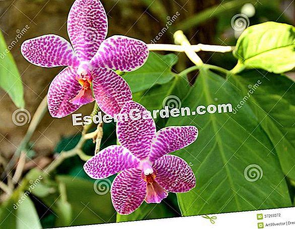 a3f4f2d7d45ff Orquídea Vanda  Cultivo, Mantenimiento, Floración 🌿 Todo Sobre Jardinería  Y Diseño De Jardines - 2019