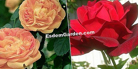 El Jardín De Rosas De Val-De-Marne (94) 🌿 Todo Sobre ...