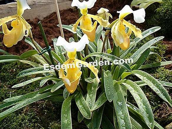 Fertilizante natural para orquídeas