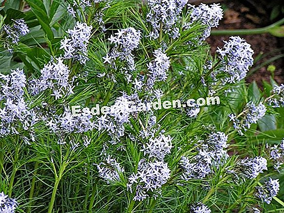 Blue Amsonia, Blue Star, Broadleaf Amsonia