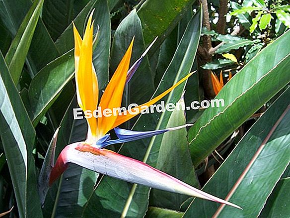 Bird of Paradise, Strelitzie