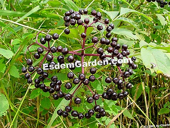 Elderberry hitam
