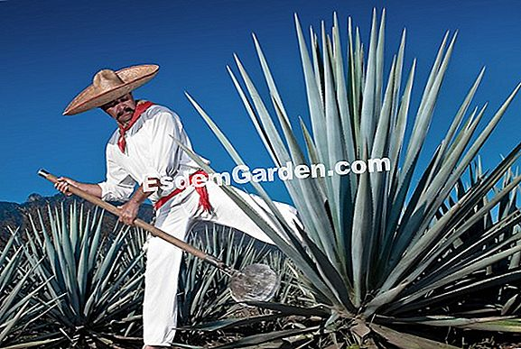 Blue Agave, Agave dengan tequila