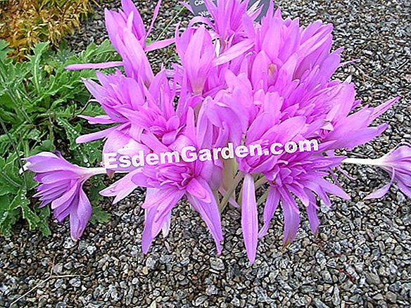 Autumn Crocus, Saffron of the Past, Crocus Autumn, Saffron Beta