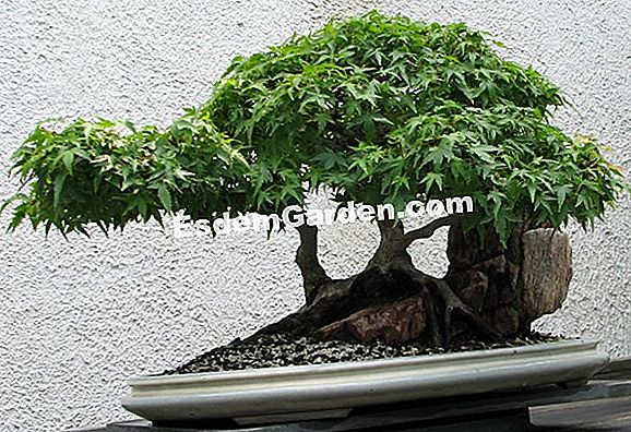 Barberry dengan daun linear