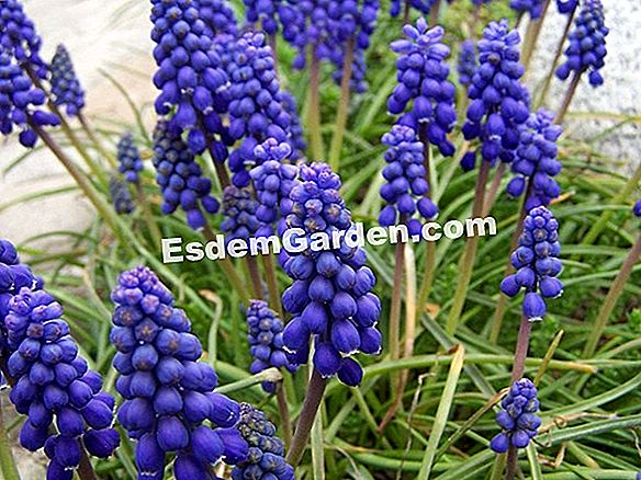 Muscari of Armenia