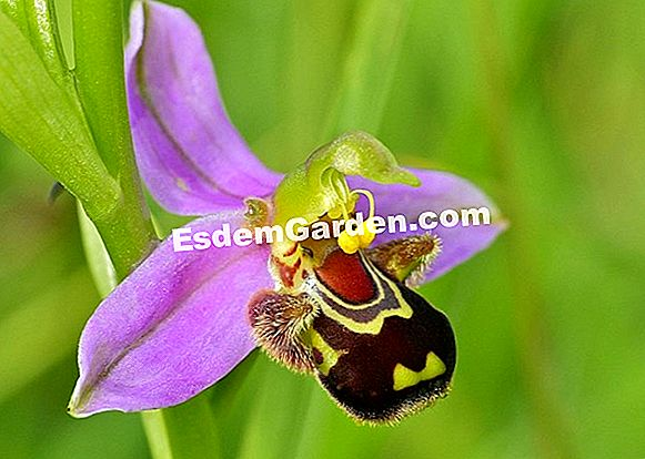 Bee Orchid, Bee Ophrys