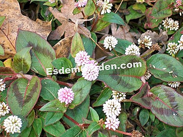Knotweed, Persicaria