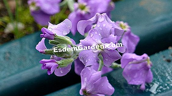 Summer wallflower (matthiola)