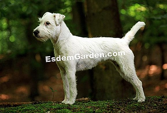 The Parson Russell Terrier, anjing sporty