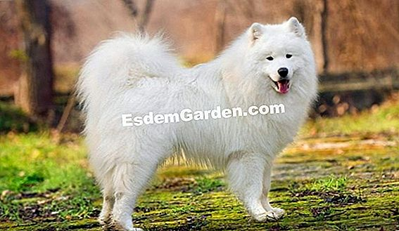 The Samoyed, anjing Nordic