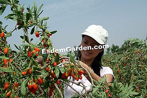 Goji, buah wolfberry (Lycium chinense dan barbarum)