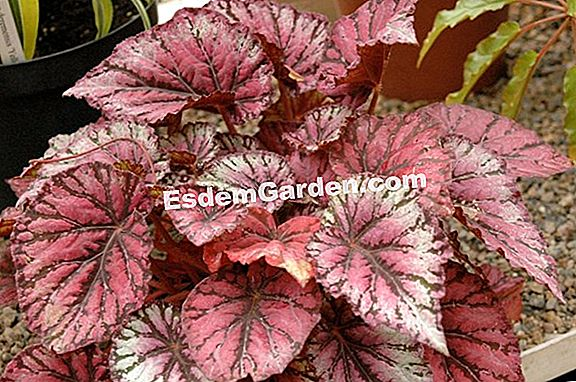 Begonia annuale