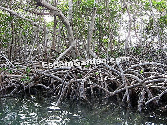 Clusier, Mangrove Mountains, Albero autografato