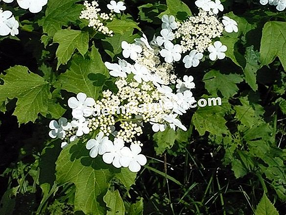 Viburnum of David