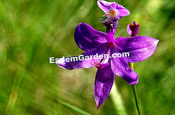 Loosestrife, Colic Grass