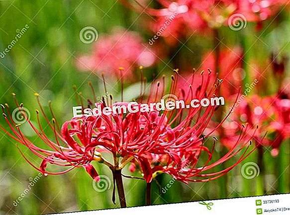 Red Lycoris, Amaryllis giapponese, Giglio Ragno dal Giappone
