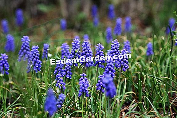 Muscari dell'Armenia