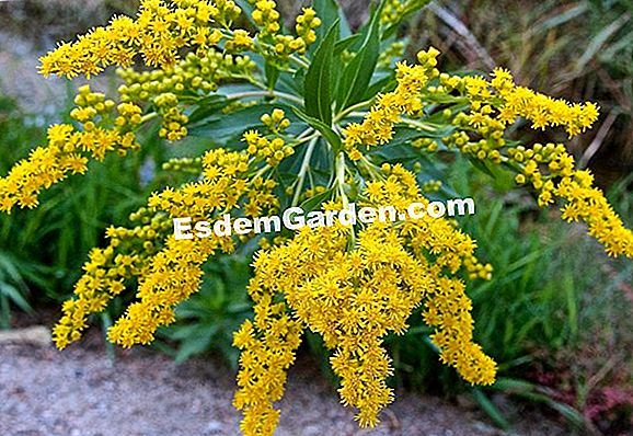 Giant Solidago, Goldenrod gigante, Giant Solidage