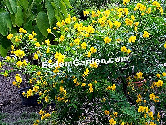 Tree Coronilla