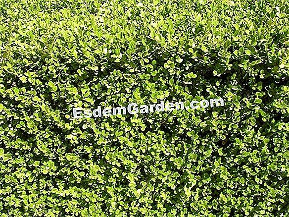 Alberi E Arbusti A Crescita Rapida Tutto Su Giardinaggio E