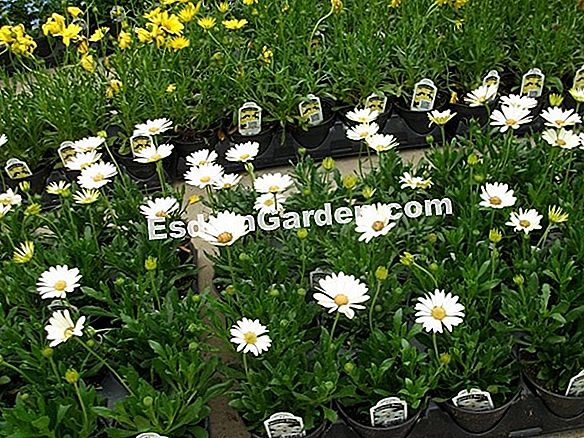 Osteospermum Voltage ™ (Osteospermum): Tips Budaya